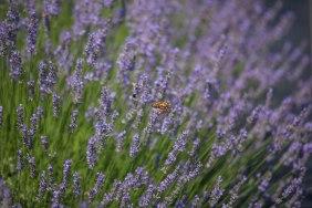 Lavender by the Farm, Long Island