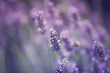 Lavender by the Farm, Long Island